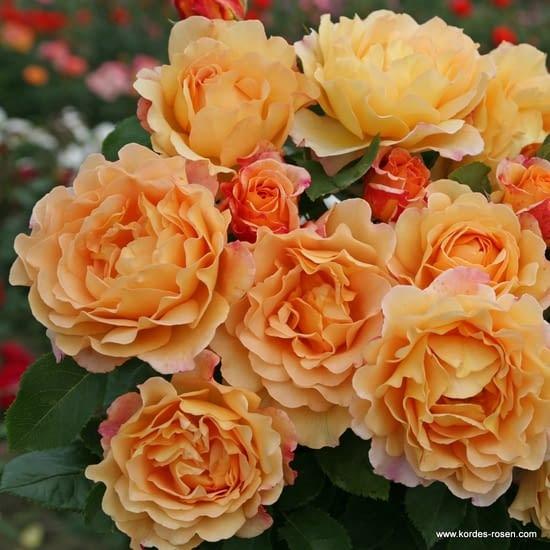 Růže Sonnenwelt
