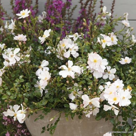 Růže Medeo