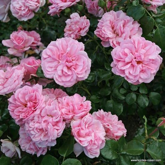 Růže Home and Garden