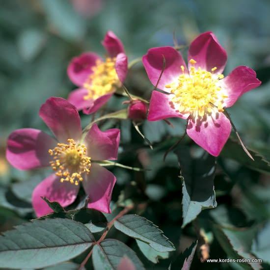 Růže Glauca (Rubrifolia)