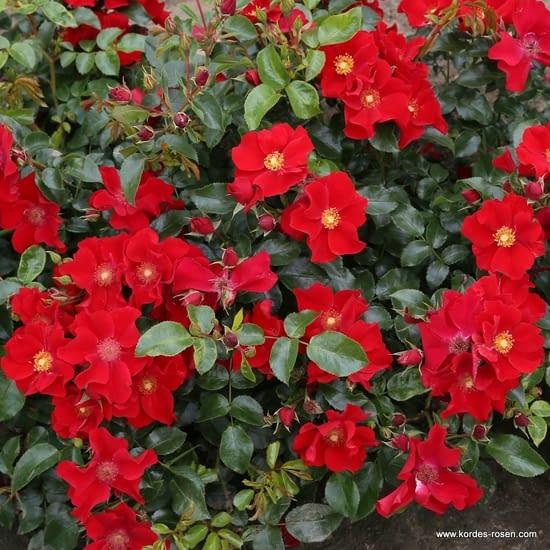 Růže Alexander von Humboldt