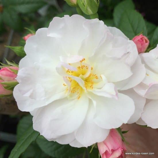 Růže Sweet Siluetta