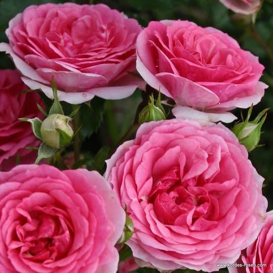 Růže Amica