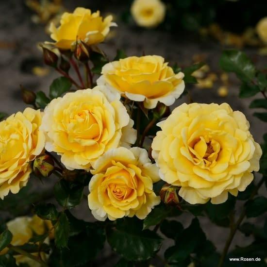 Růže Sunmaid