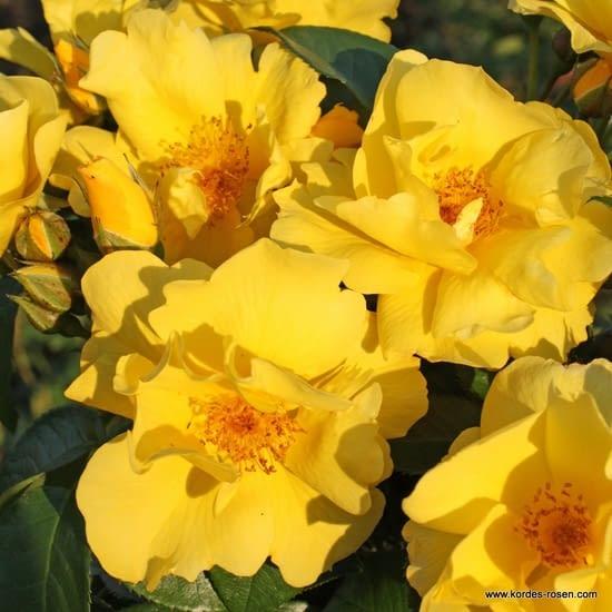 Růže Lemon Fizz
