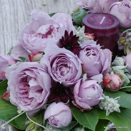 Růže Novalis