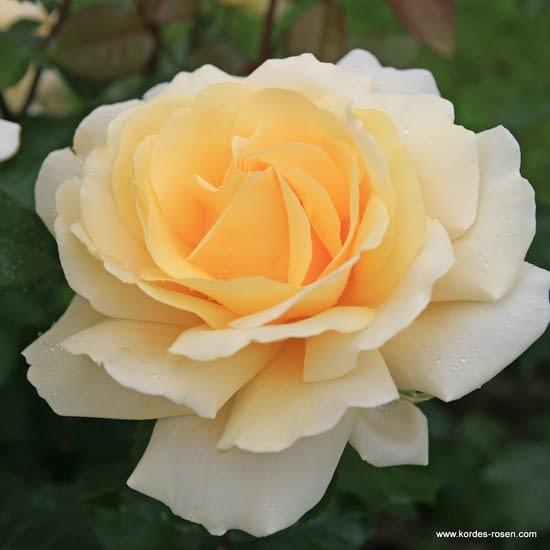 Růže Winter Sun