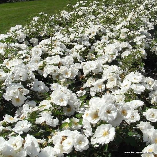 Růže Innocencia
