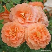 Růže Schöne vom See