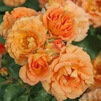 Růže Pálava