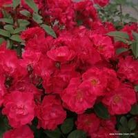 Růže Burghausen