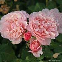 Růže Eifelzauber