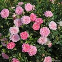 Růže Sweet Knirps