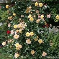 Růže Moonlight