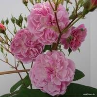 Růže Romantic Siluetta