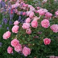 Růže Sommerwind