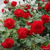Růže Jugendliebe