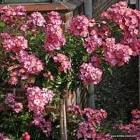 Růže Juanita