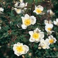 Růže Pimpinellifolia