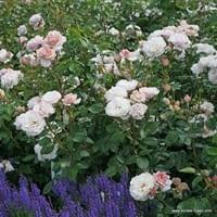 Růže Herkules