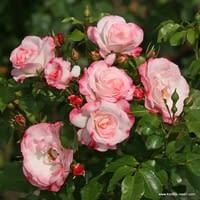 Růže Rosenstadt Freising