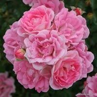 Růže Flirt 2011