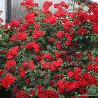 Růže Brillant Korsar