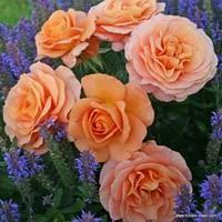 Růže Bengali