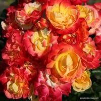 Růže Firebird