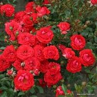 Růže Zwergenfee 09