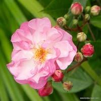 Růže Lavender Siluetta