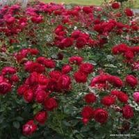 Růže Bordeaux