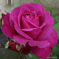 Růže Parole