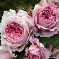 Růže Alexandra - Princesse de Luxembourg
