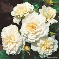 Růže Petticoat