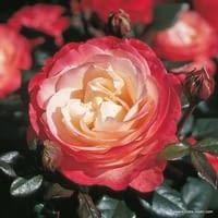 Růže Nostalgie