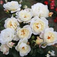 Růže Weisse Wolke