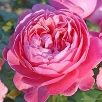 Růže Flora Olomouc
