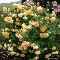 Růže Postillion