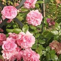 Růže Sweet Laguna
