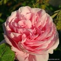 Růže Muscosa