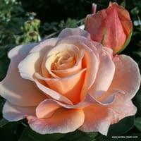 Růže Oh Happy Day
