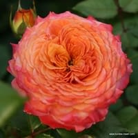 Růže Meteor