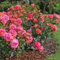 Růže Sommersonne