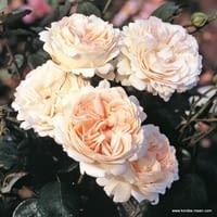 Růže Sebastian KNEIPP