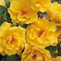 Růže Sunshine