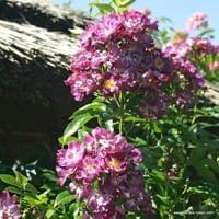Růže Veilchenblau