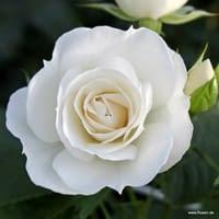 Růže Baby Schneewittchen