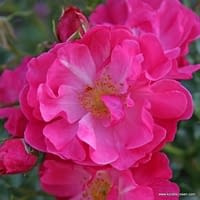 Růže Hotline