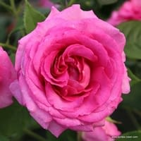Růže Fräulein Maria
